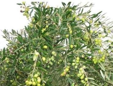 Valenzano, al via la X Giornata dimostrativa di raccolta in continuo  delle olive