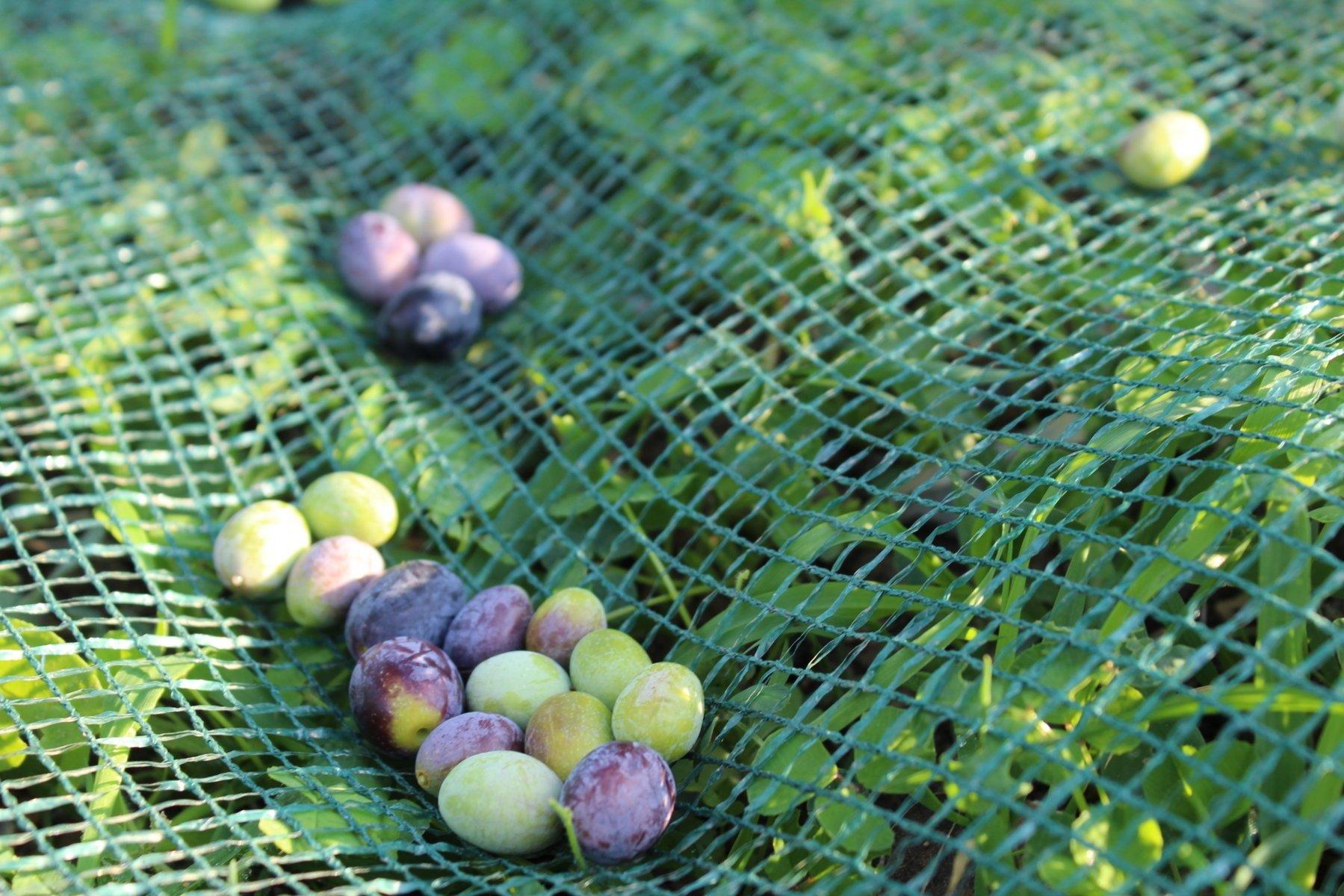L'olivagione 2015 è iniziata anche per i territori della Dop Riviera Ligure: