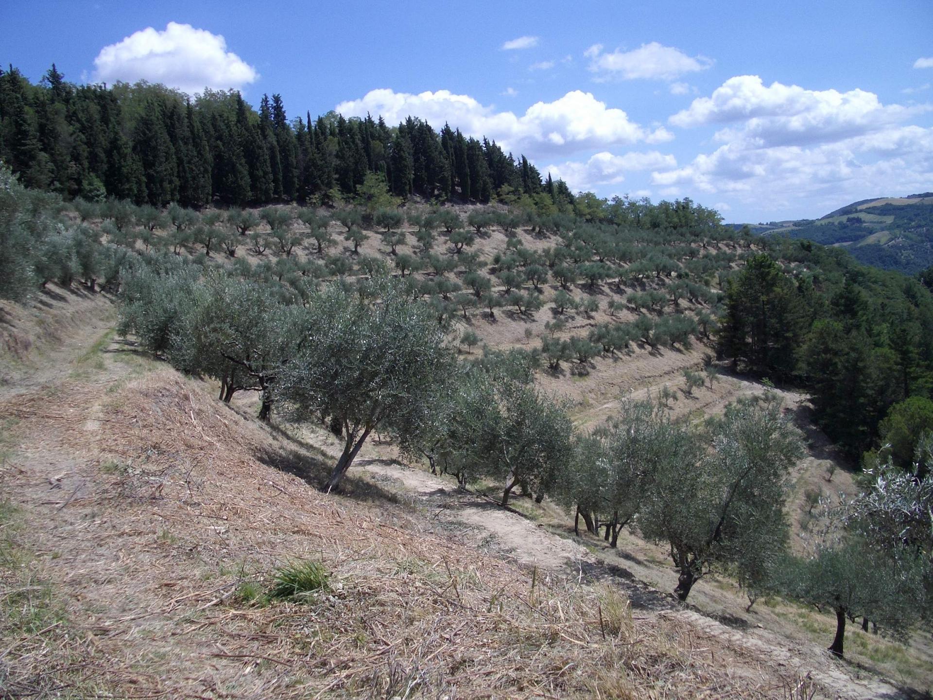 Olivagione 2015 in Emilia Romagna