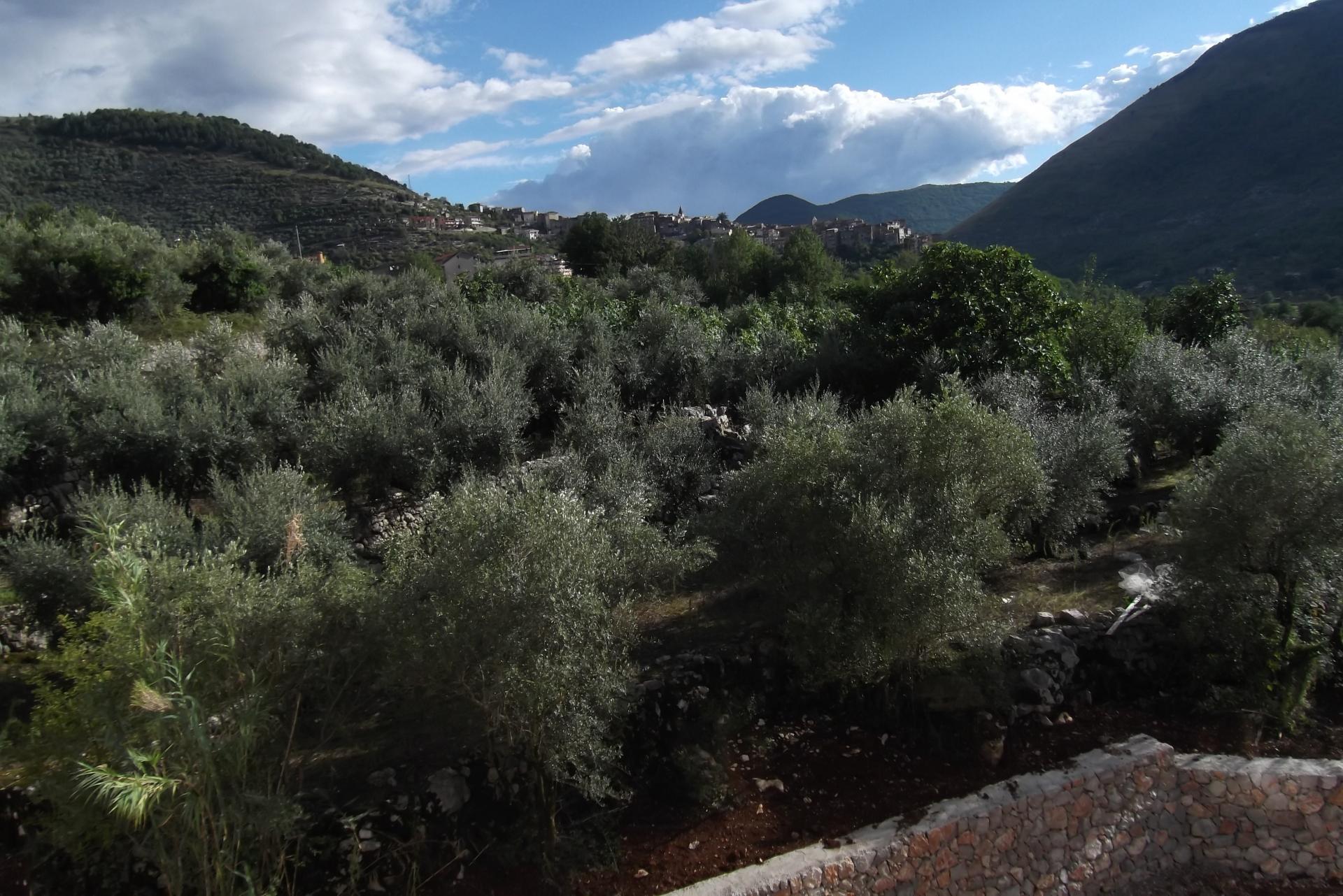 Olivagione 2015 nel basso Lazio