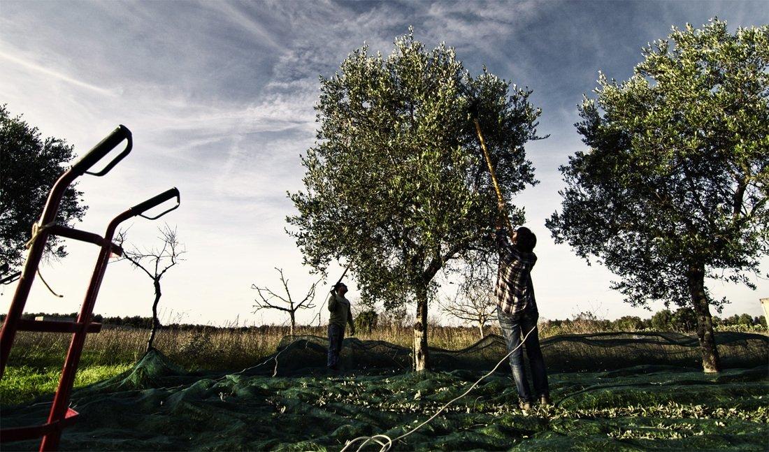 Expo, 5 ottobre: Olio da olive, passione tutta italiana. Innovazione e tradizione della produzione olearia italiana