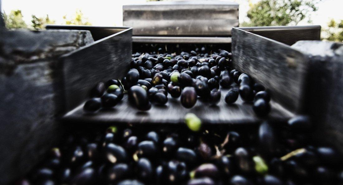 Perché la Puglia olearia arranca