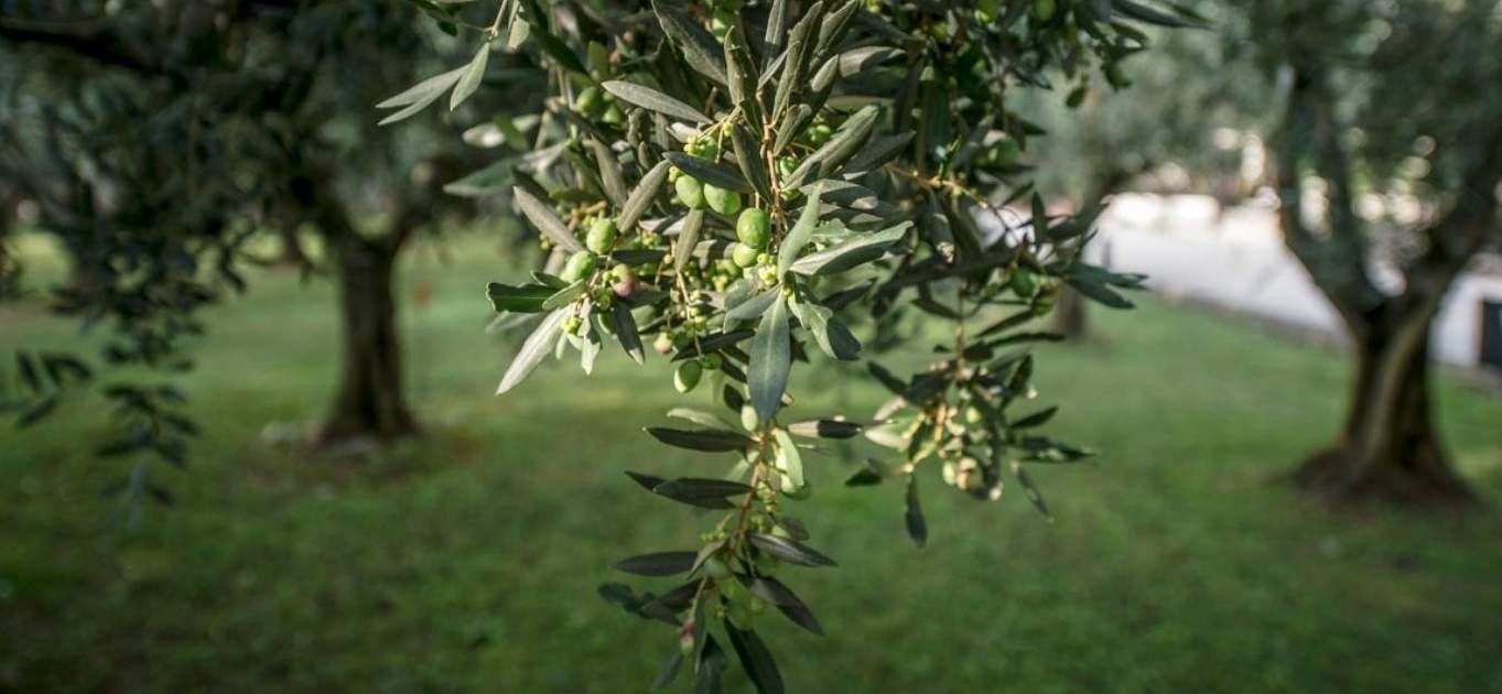 L'olivo nel Nord-Est Italia