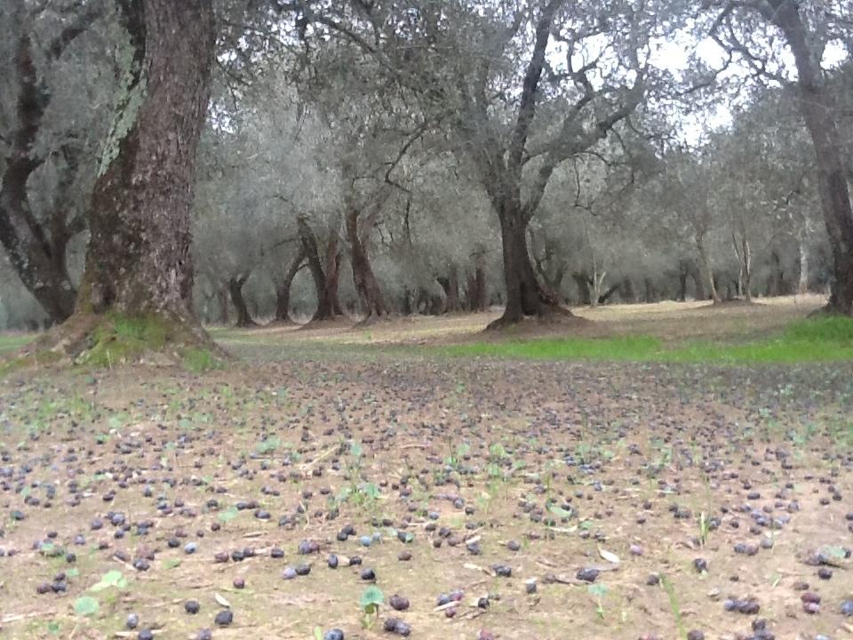 Le malattie dell'olivo