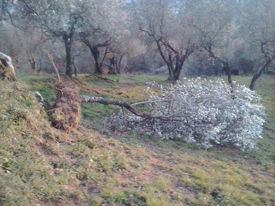Olivi strappati dal suolo