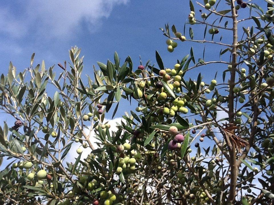 L'olivicoltura moderna fa paura?