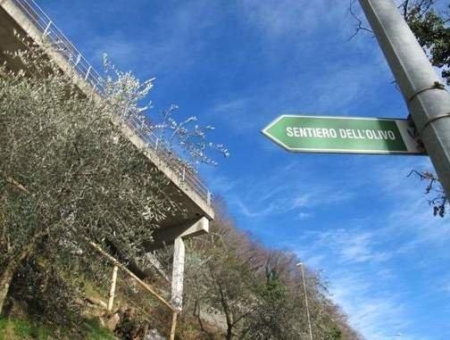 Olivi del Ticino