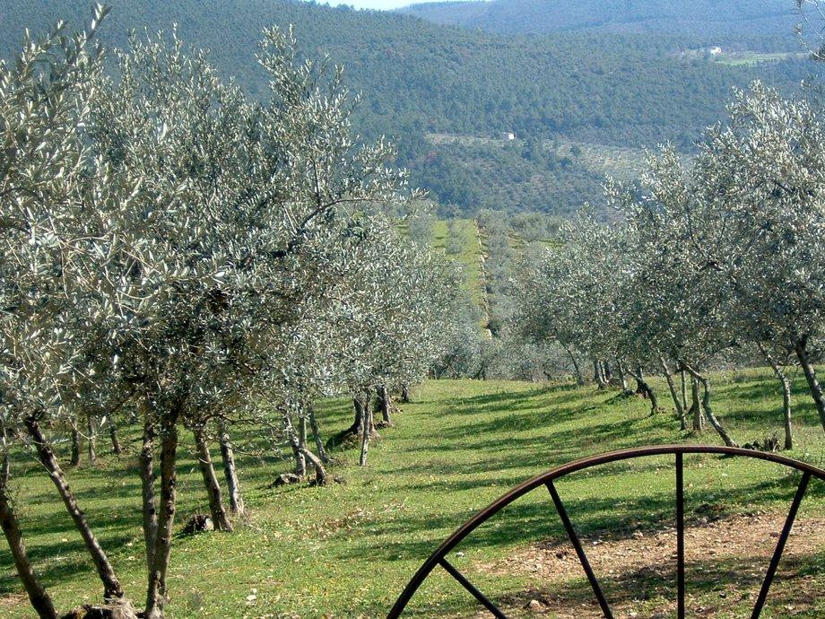 Mille ettari per far ripartire l'olivicoltura italiana