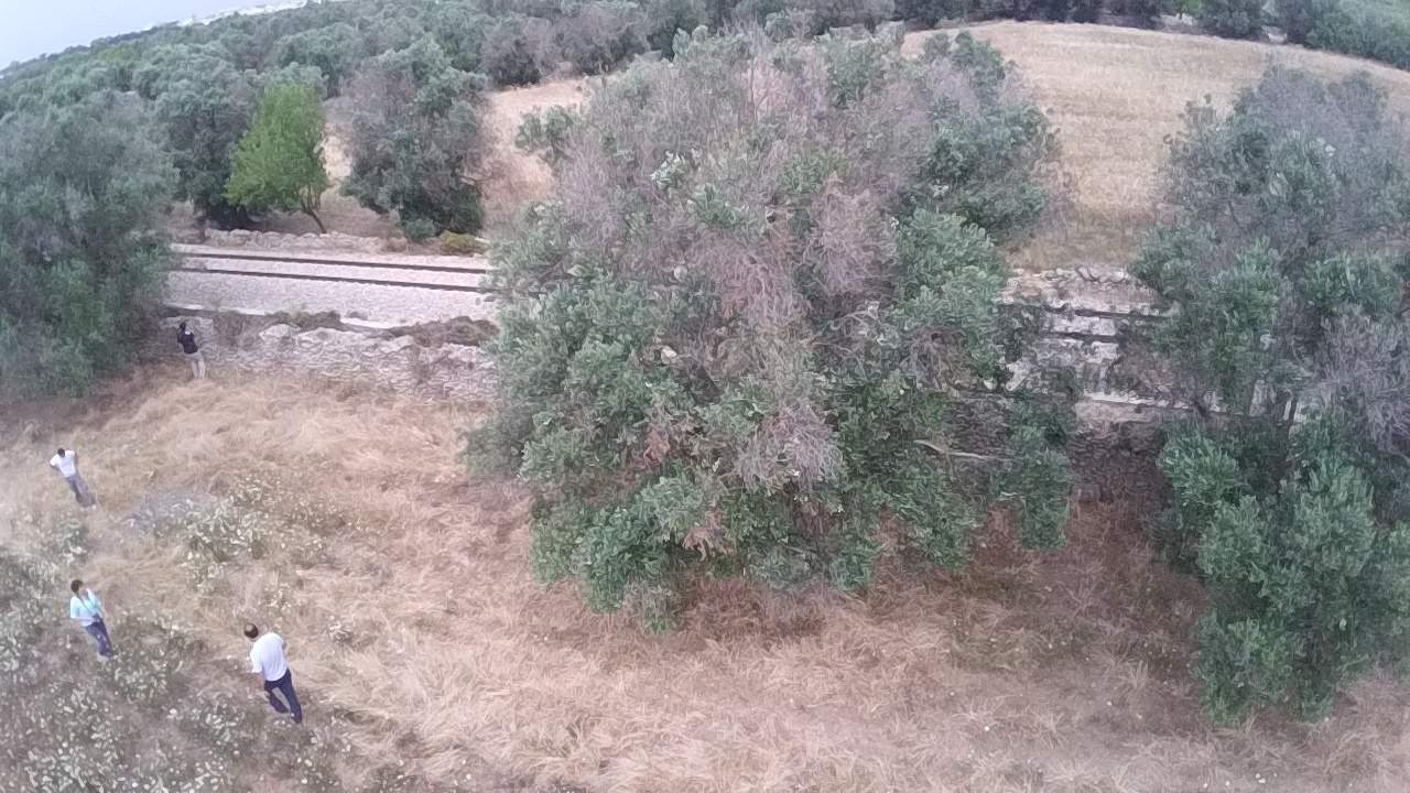 Xylella, i sintomi sull'olivo