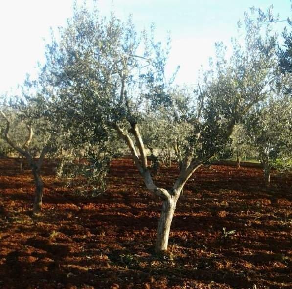 Cosa accade agli olivi