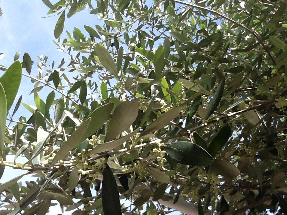 L'olivo della speranza