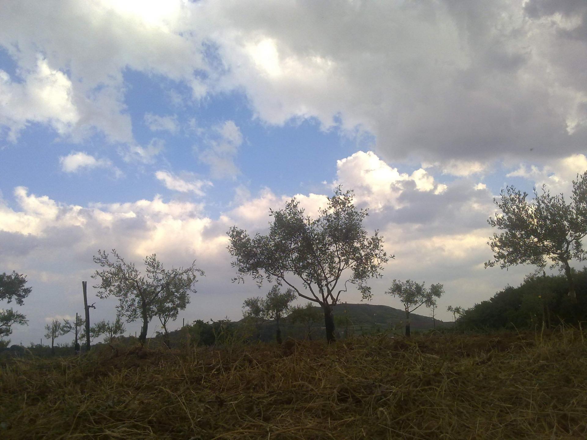 Olivo, albero essenziale