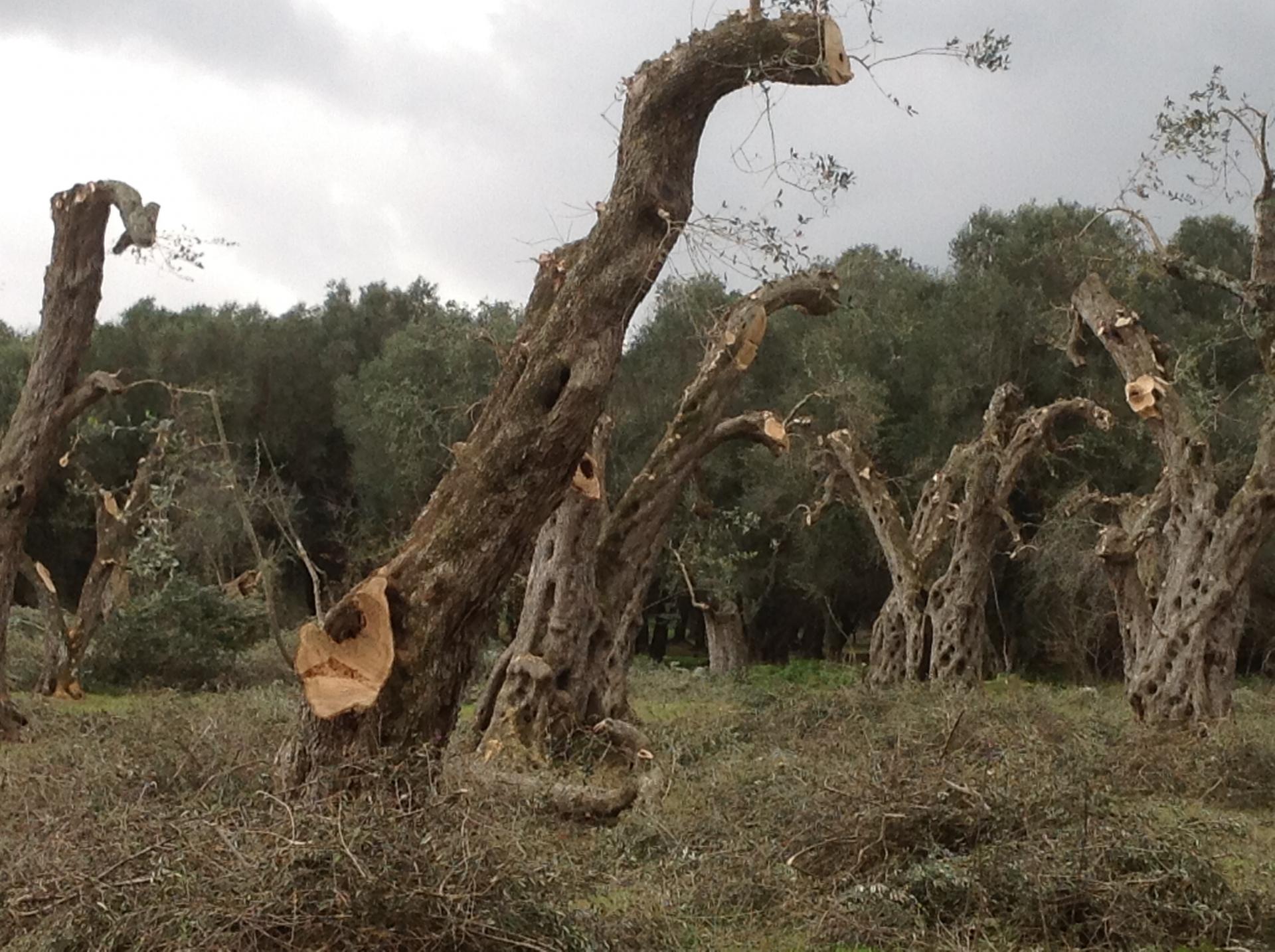La macellazione degli olivi