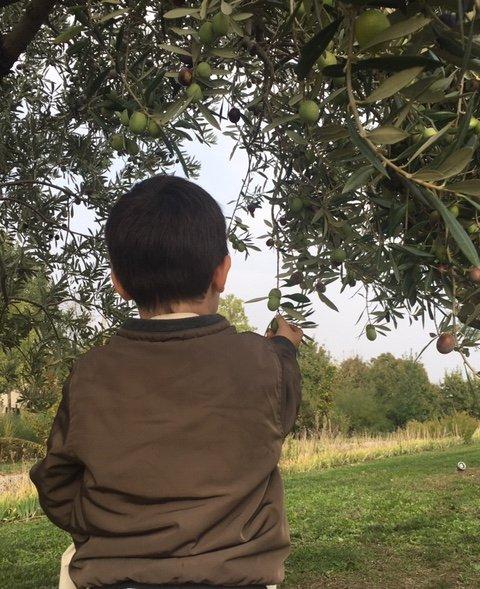 La cultura dell'olivo e dell'olio a Palazzo di Varignana