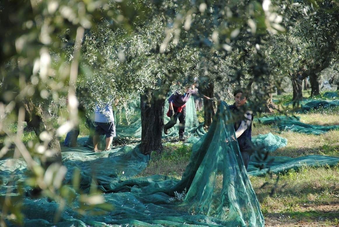 Io assaggio e odoro le olive