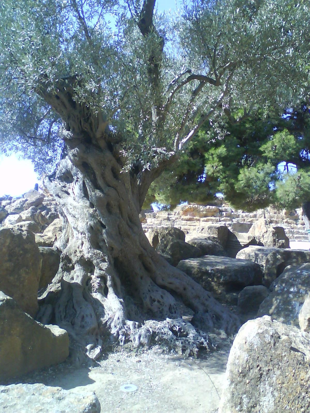 L'olivo e gli antagonisti naturali