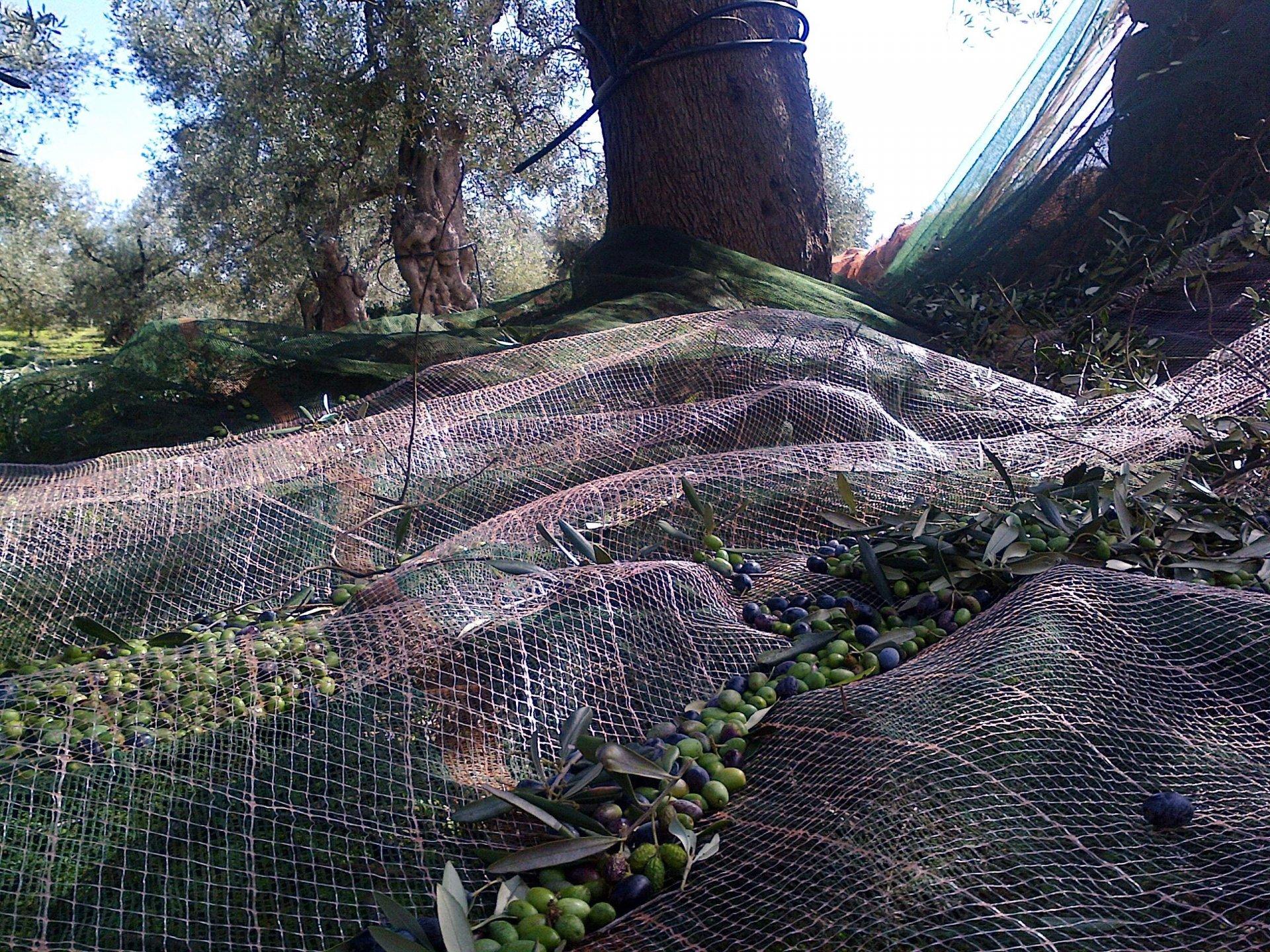 L'olivagione in dieci scatti
