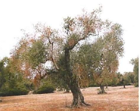 Gli olivi del Salento disseccano