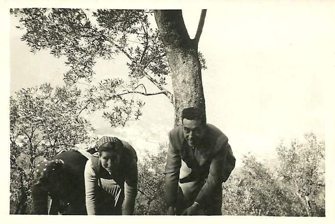 Com'era l'olivagione 70 anni fa