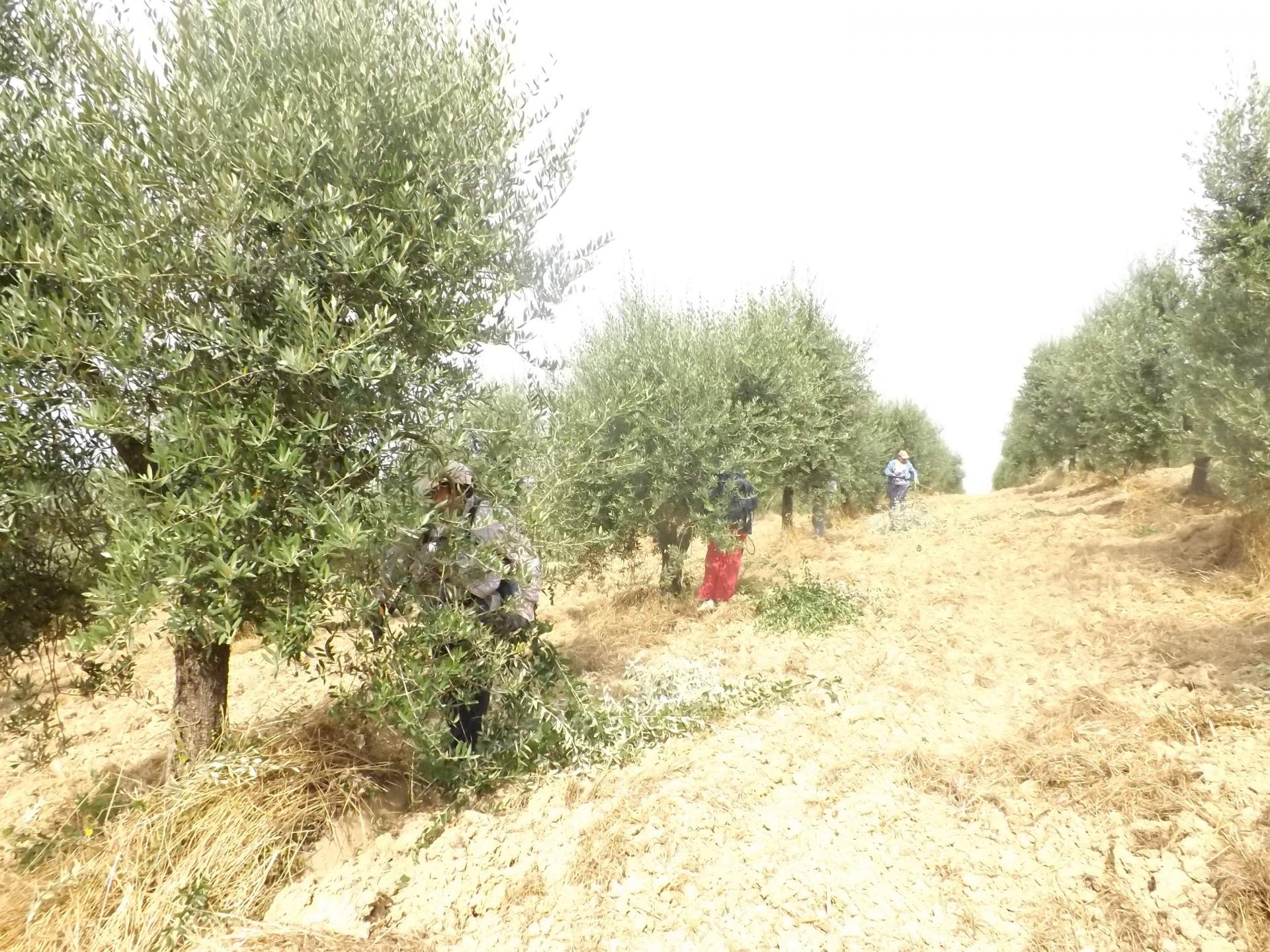 La potatura degli olivi tra vecchio e nuovo testamento