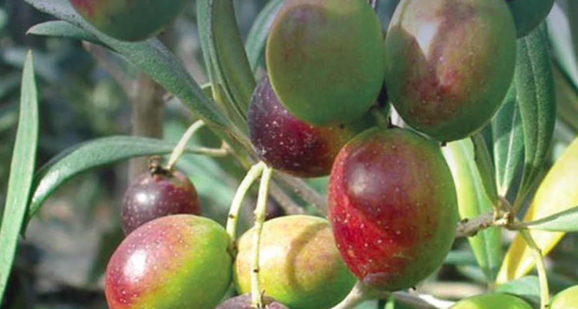 Guidelines for the prevention, eradication and containment of Xylella fastidiosa in olive-growing areas