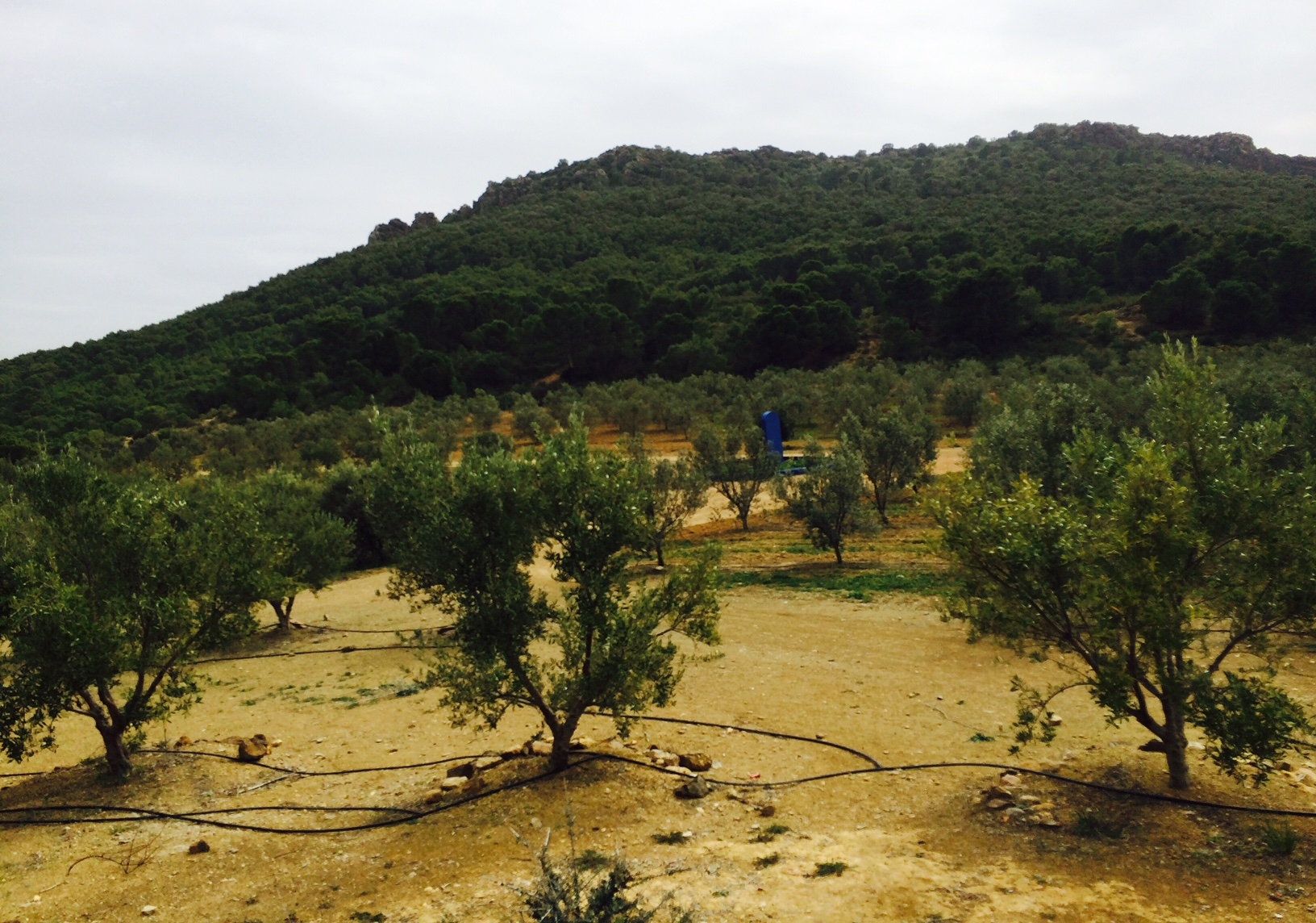 Tunisian organic olive oil