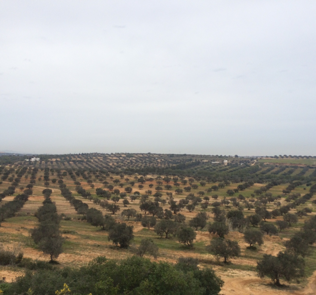 Raising the profile of Tunisian olive oil