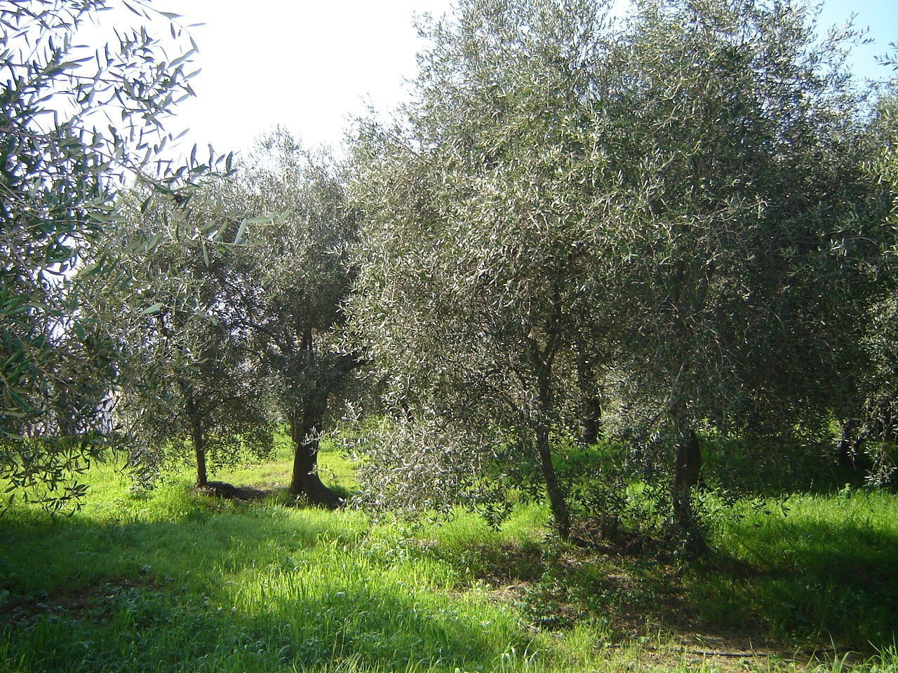 World Olive Day 2016