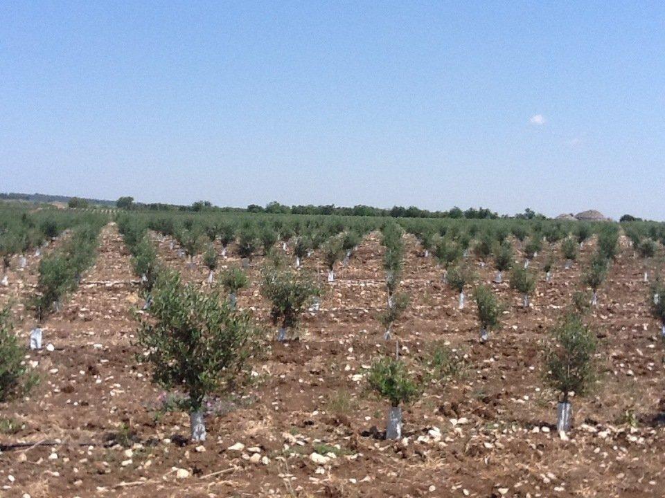 L'olio democratico e l'olivicoltura dalla funzione sociale