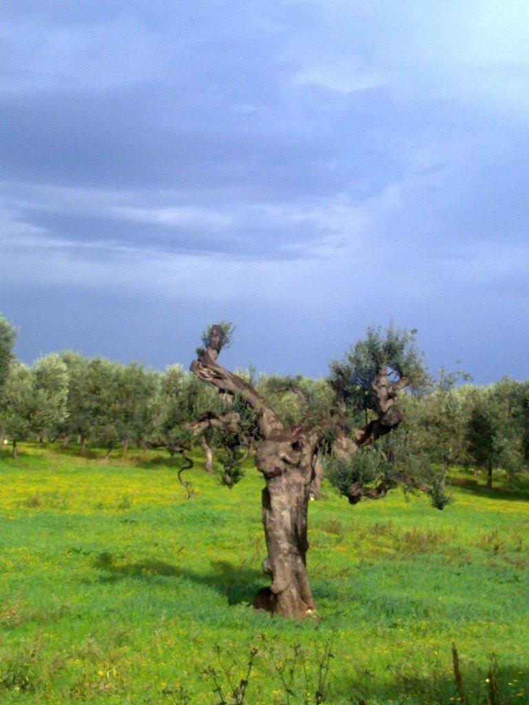 L'olivo ha lo stesso volto dell'uomo