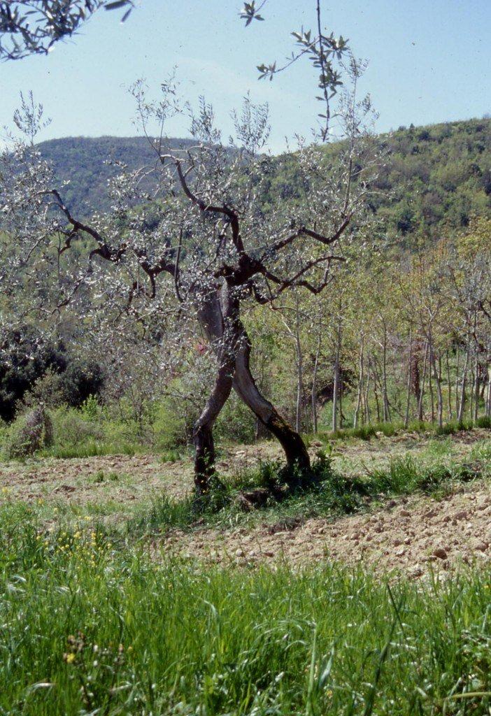 Sì, gli olivi effettivamente camminano, e non è un miracolo