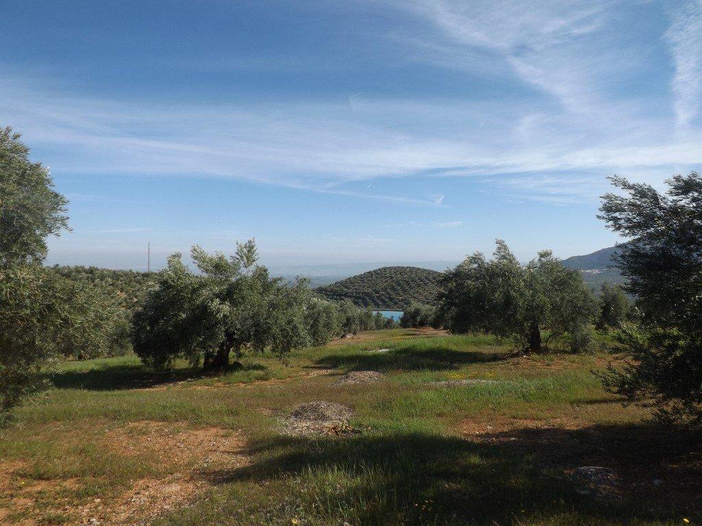 Sorpresa, la Spagna olearia non è come molti la immaginano