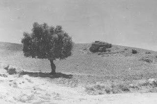 Per la pianura cammina un olivo
