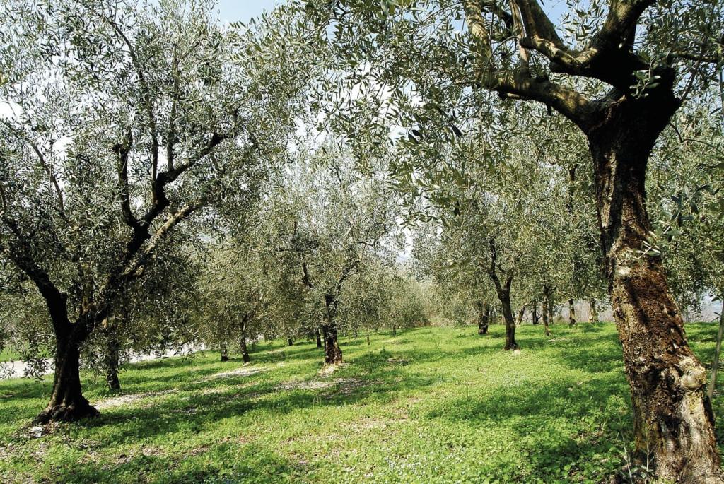 Acque saline per gli olivi