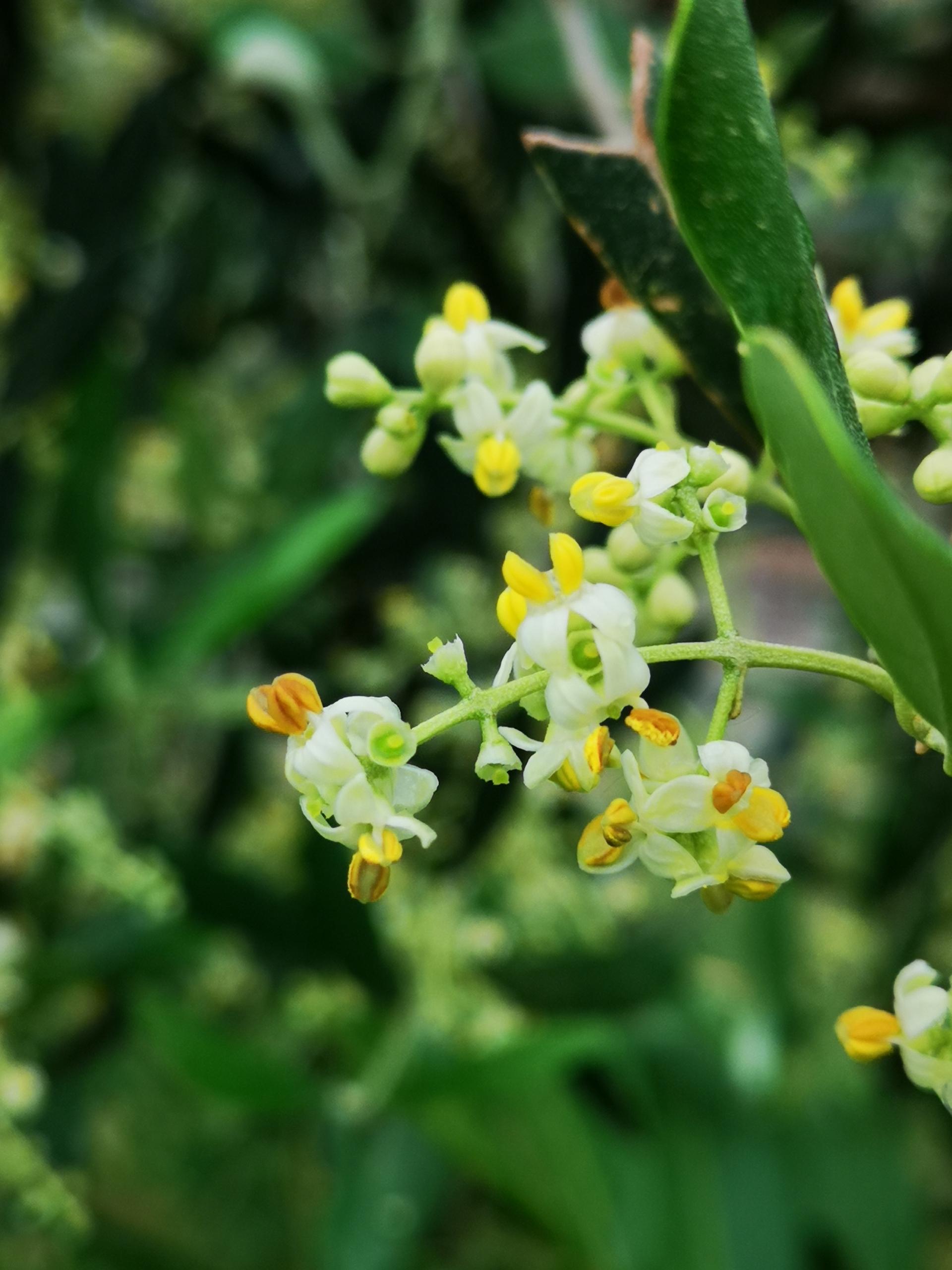 Una festa per l'olivo in fiore