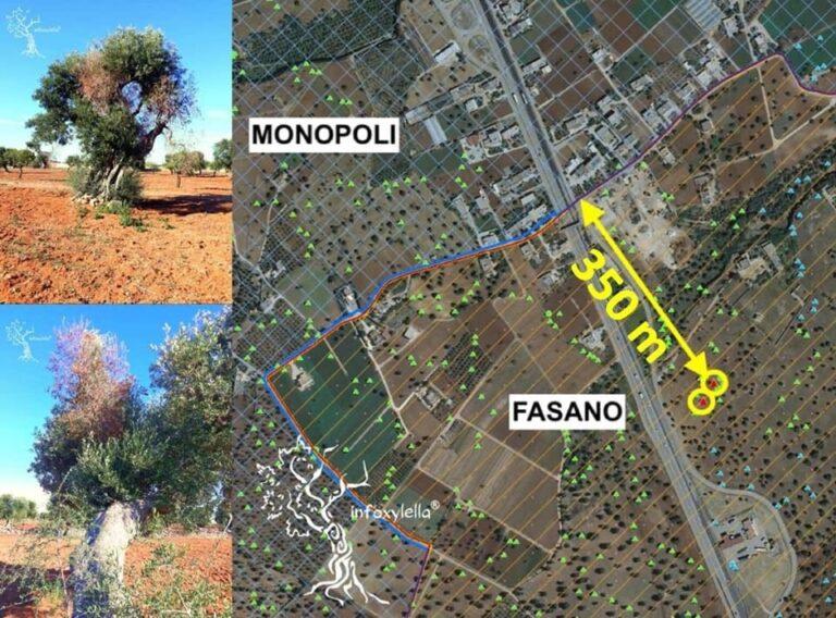 Continua l'avanzata della Xylella verso nord, nuovo focolaio con due piante di olivo