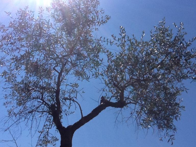 La rete Coi del germoplasma dell'olivo all'opera con la World Germplasm Collection di Marrakech e altri partner