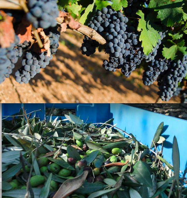 Il vino Primitivo in Sicilia, l'olio Taggiasca in Puglia?