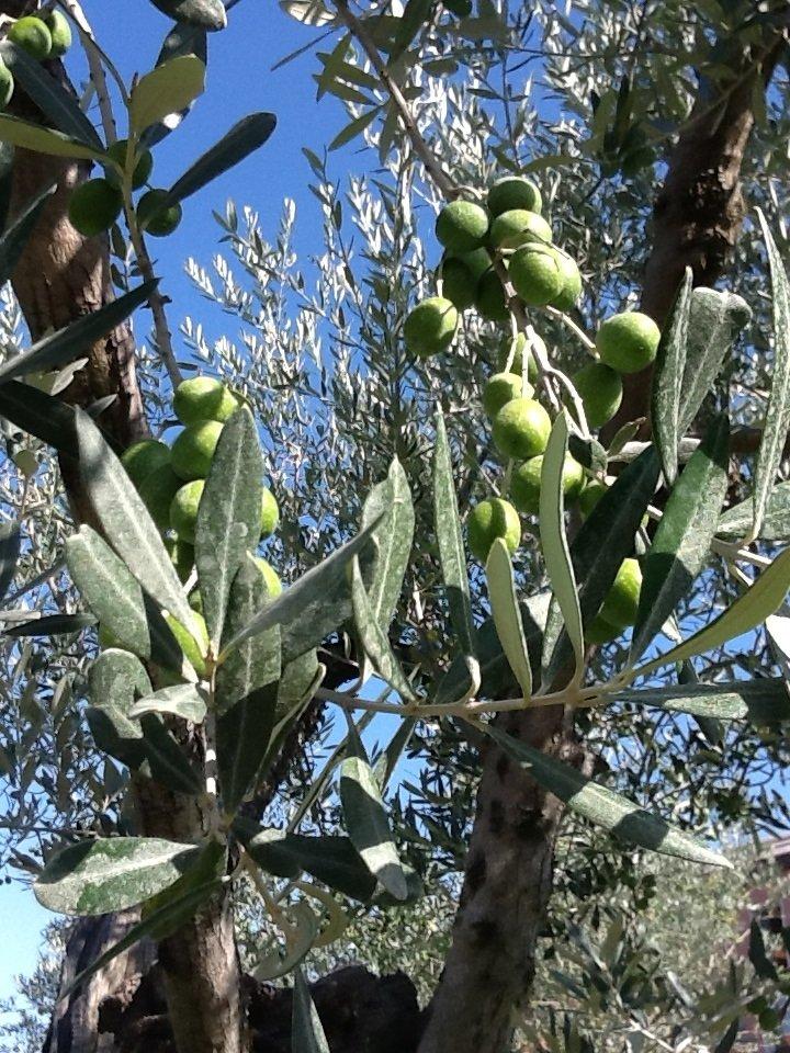 Rifondazione olivicola