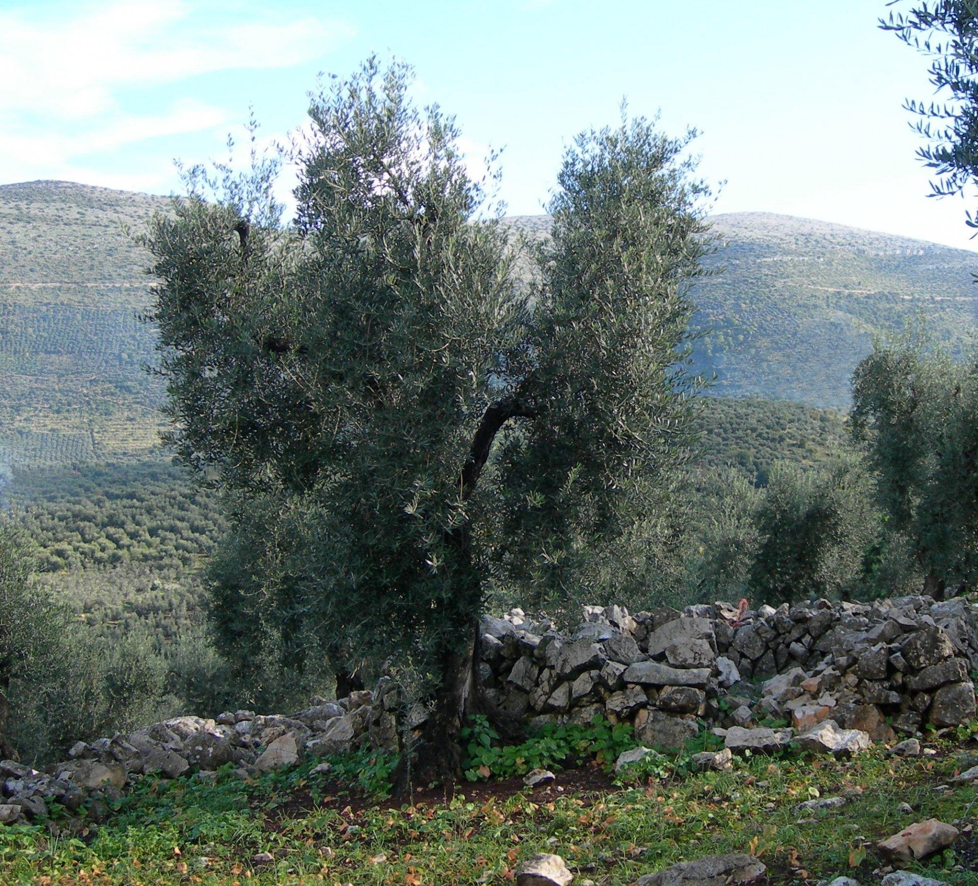 Una annata difficile per l'olivicoltura della provincia di Latina