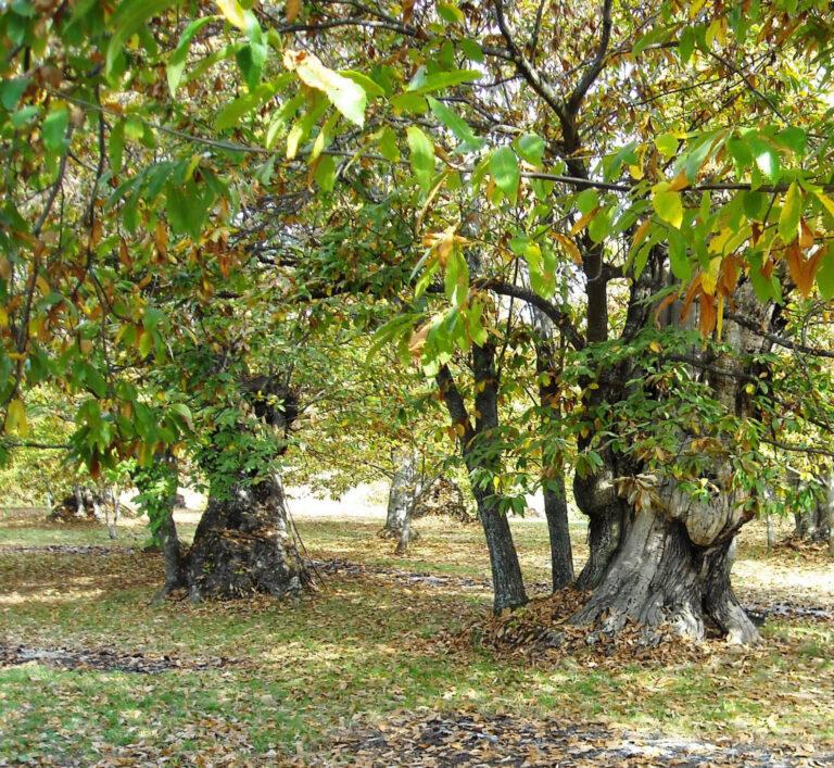 La raccolta di castagne e marroni e l'incognita Covid-19