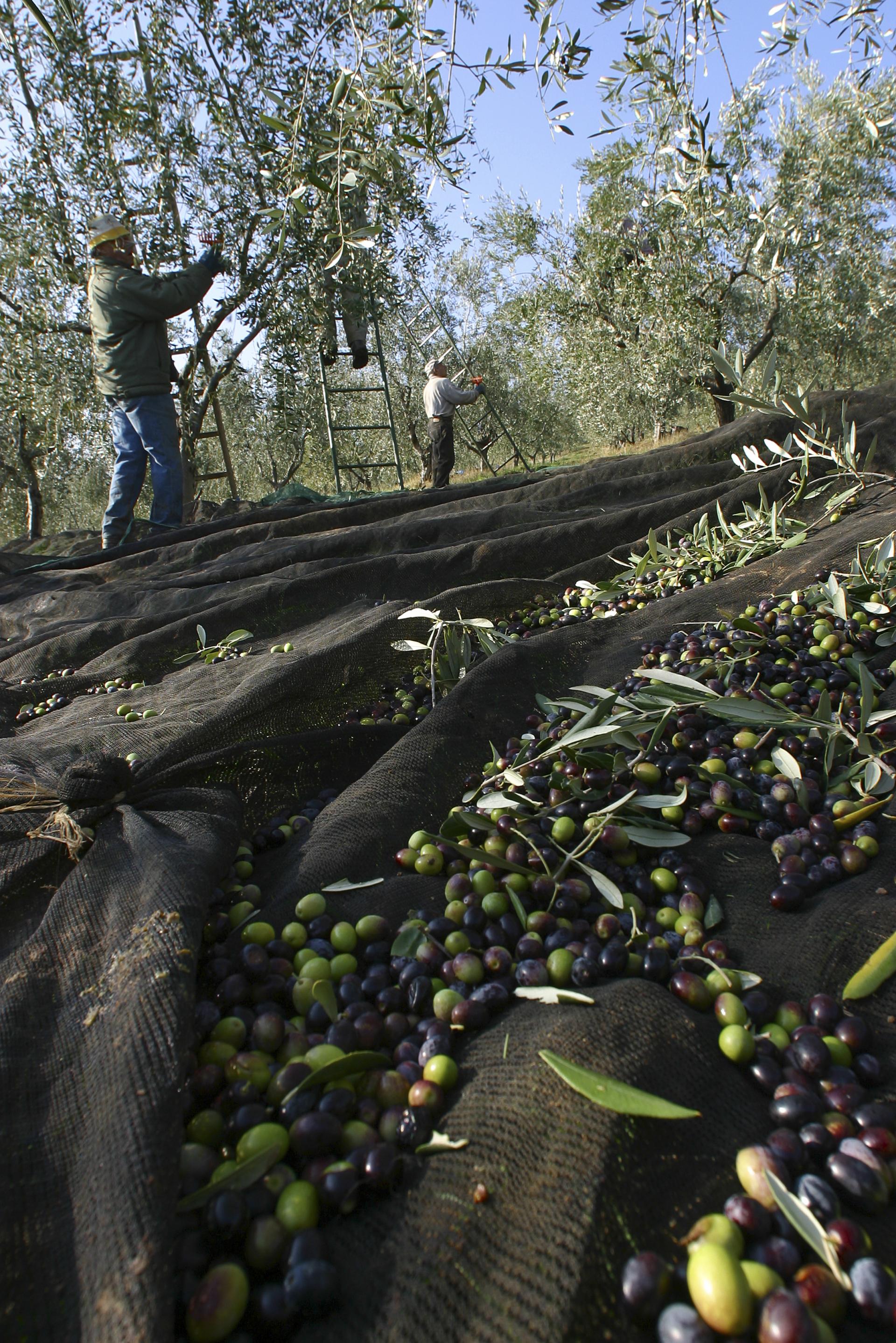 È iniziata l'olivagione 2020 per l'area Dop Chianti Classico