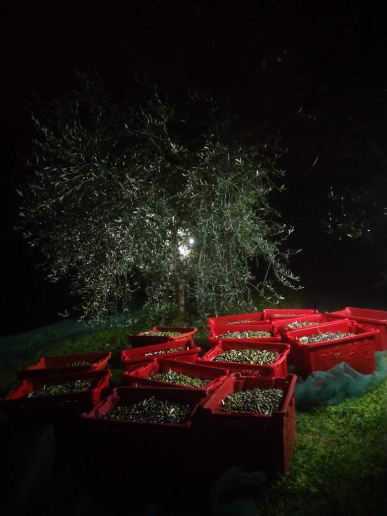La raccolta notturna delle olive in Liguria