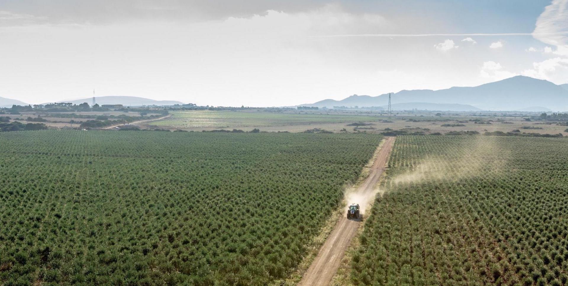 Perché in Italia sono in tanti a odiare la coltivazione super intensiva degli olivi?