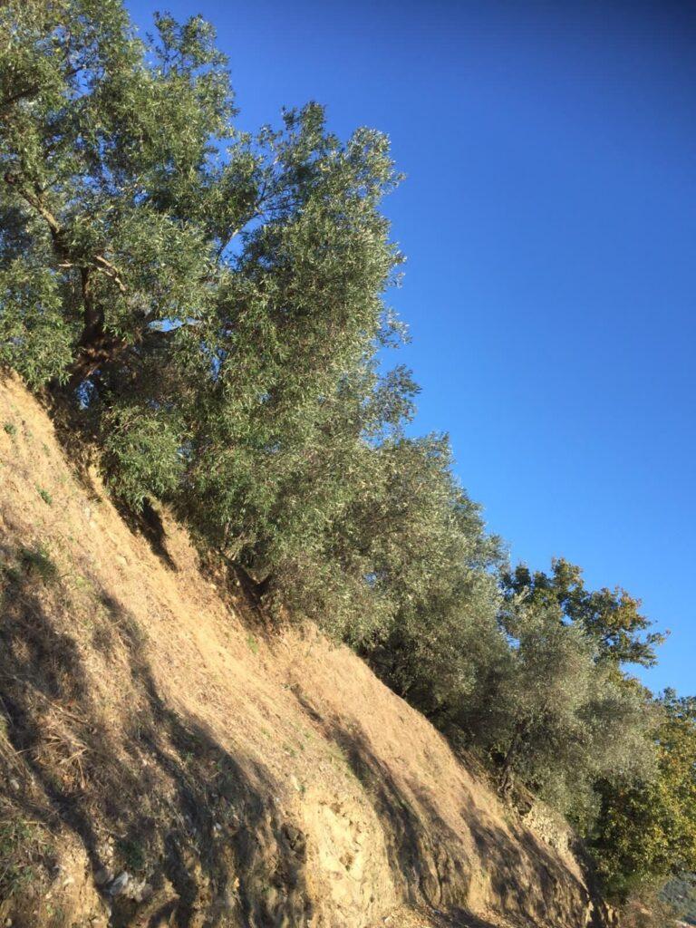 Quasi pronti alla raccolta delle olive, anche in alta quota