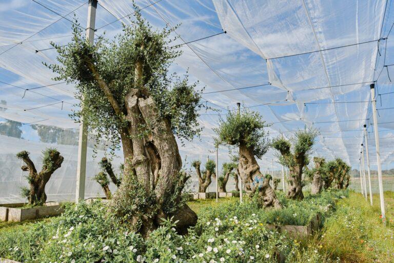 Gli olivi della Tap nel Salento ritornano in loco