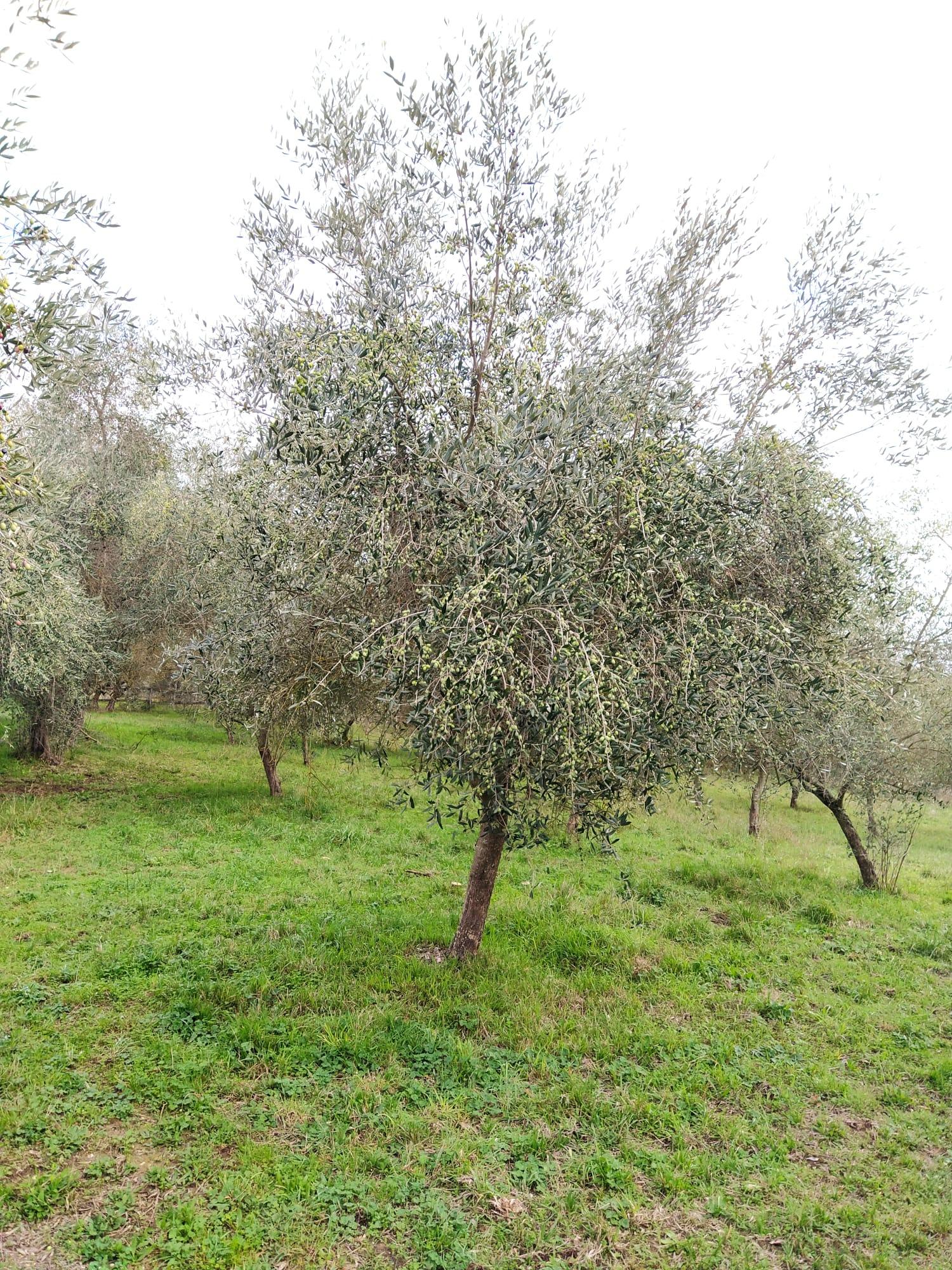 Le tradizioni olivicole toscane da salvaguardare