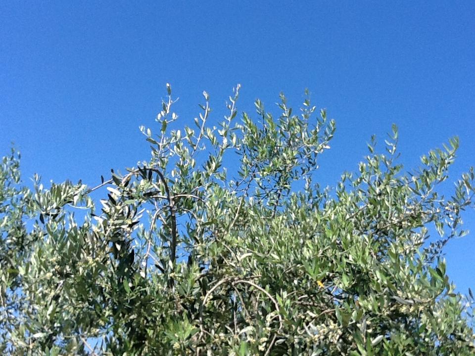Conferenza Stato-Regioni, sono state accolte le richieste del comparto olivicolo