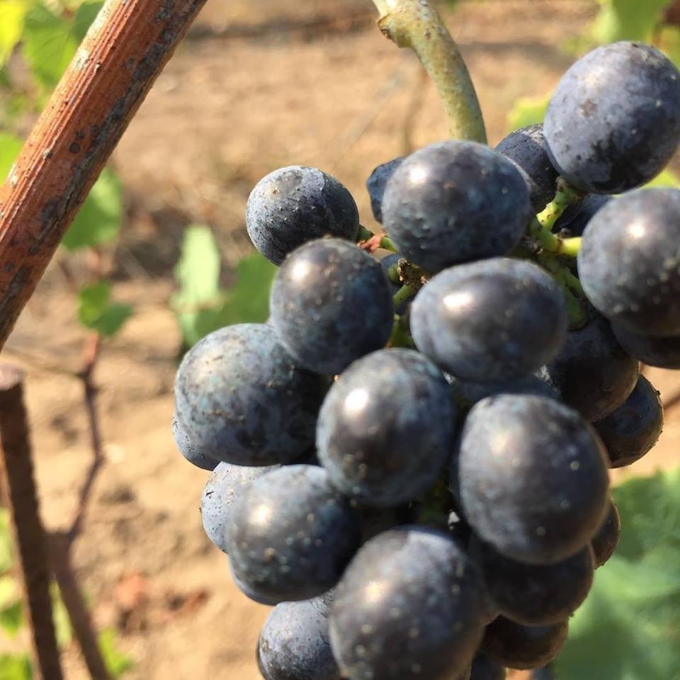 Comparto vitivinicolo del Veneto: tutti i numeri sullo stato del vigneto