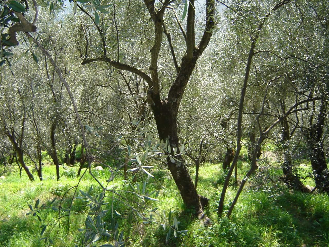 Quanto è davvero competitiva la filiera olivicola? Il nodo da sciogliere è la questione costi di produzione